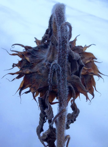 Winter Sunflower